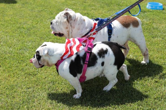 Two bulldogs, currently up for adoption, with their attention fixed on something off-frame at El Camino's softball field