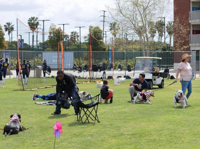 Dogs, predominantly bulldogs and pugs, along with owners and volunteers lounging beyond the outfield fence of the El Camino softball field