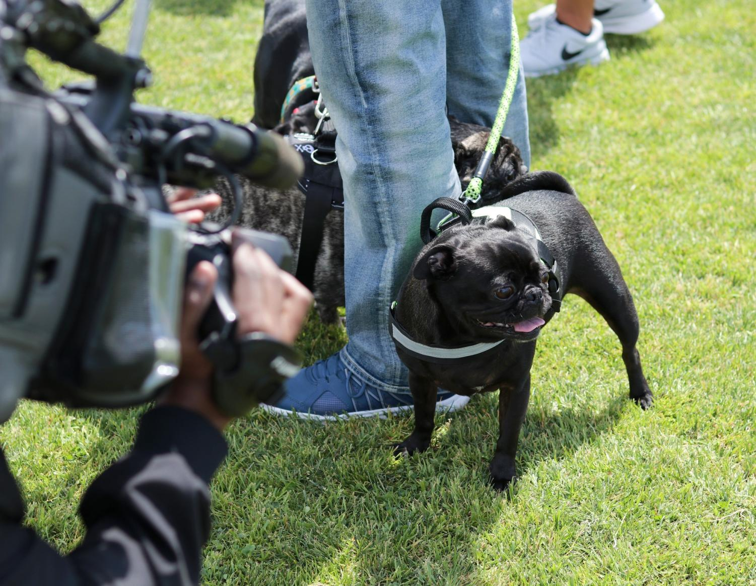 "Rookie the pug giving an ""Interview"" for Torrance CitiCABLE during Warriors softball's ""Bark in the Park"" event"