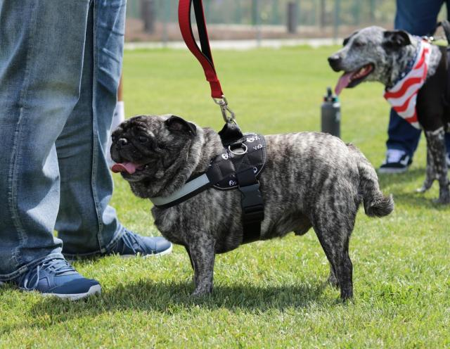Reno the pug catching a few glimpses game taking place off-frame on Saturday, March 23, at the EC softball field.