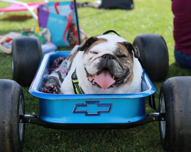 Buddy the bulldog sitting comfortably in a wagon just beyond the outfield fence of the El Camino softball field